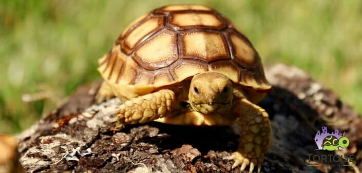 best tortoise for sale online