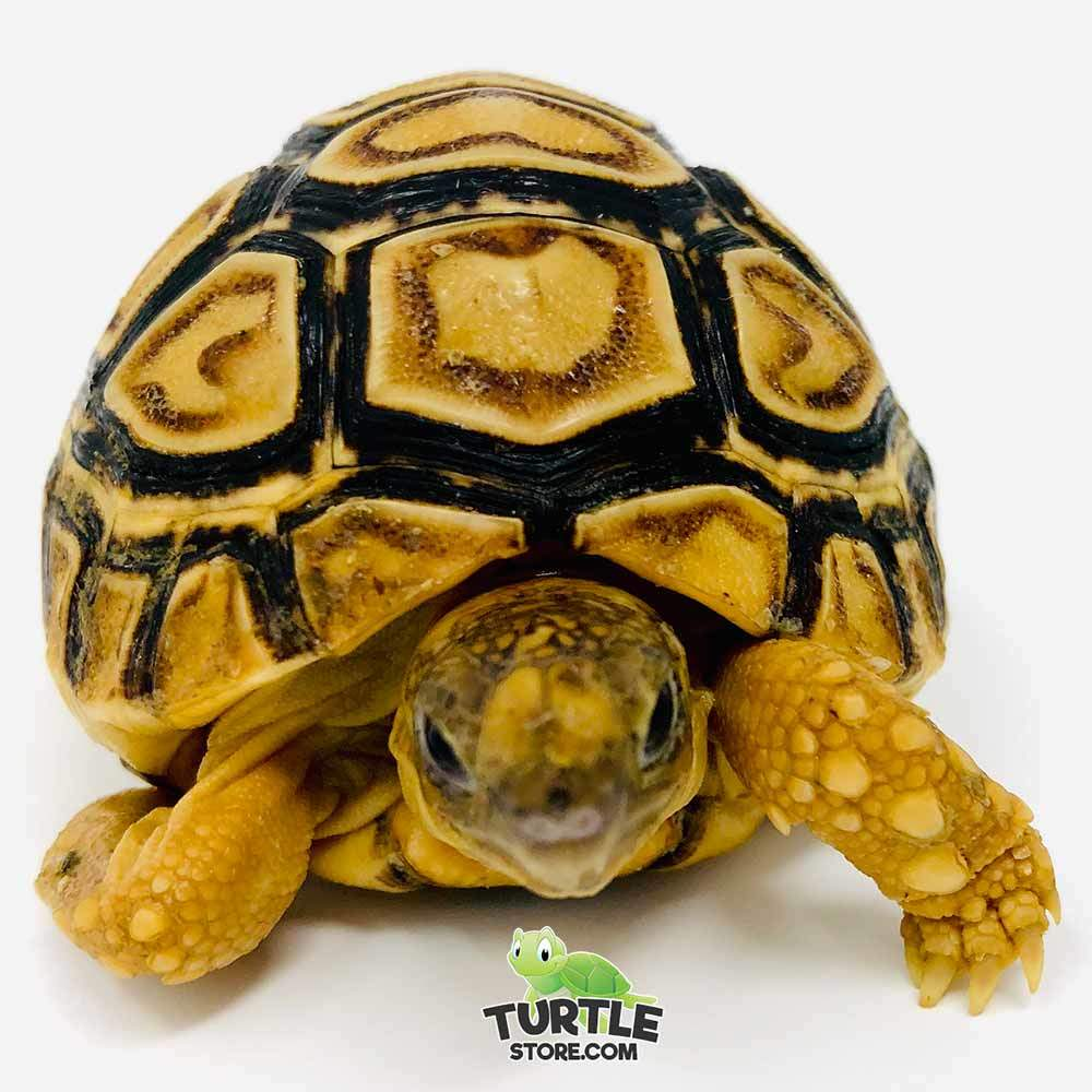 leopard tortoise for sale