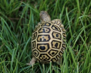 south african leopard tortoise for sale