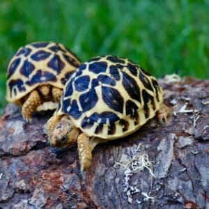 well started tortoise for sale