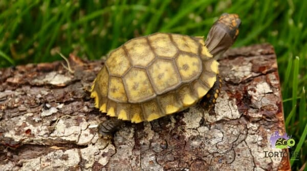yellow footed tortoise housing