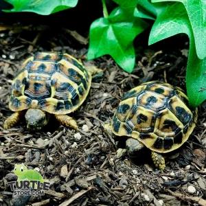 western hermann's tortoise size