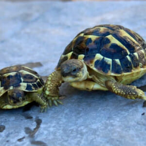 western hermann's tortoise care