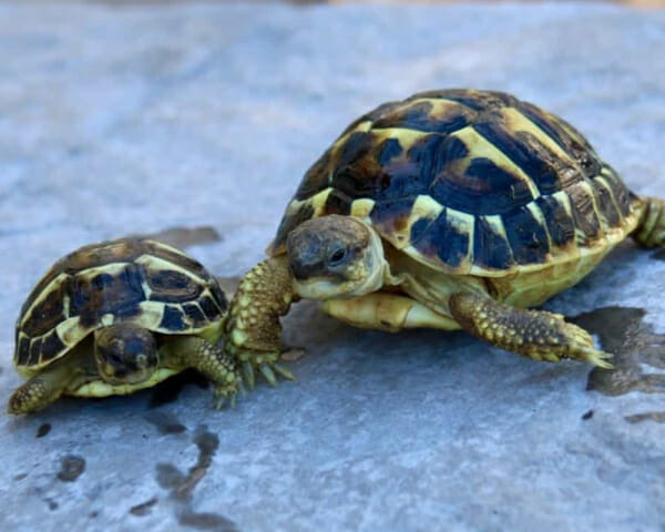 western hermann's tortoise care