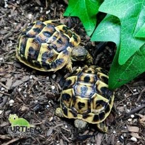 western hermann's tortoise soaking