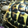 western hermanns tortoise for sale online