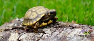yellow footed tortoise substrate
