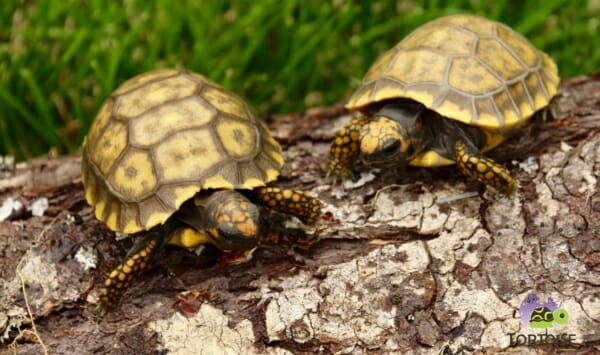 baby yellow foot tortoise for sale online