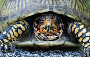 3 toe box turtle
