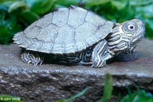 northern map turtle for sale