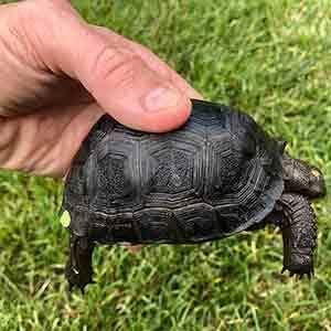 Aldabra tortoise habitat
