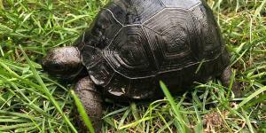 Aldabra tortoise for sale online