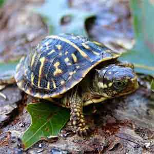 box turtles for sale