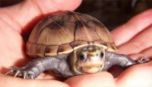 mud turtle for sale