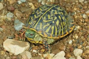 ornate box turtle breeder