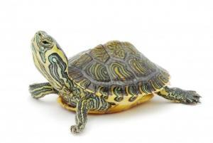 pet turtle for sale