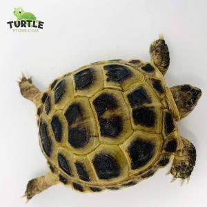 Russian tortoise housing