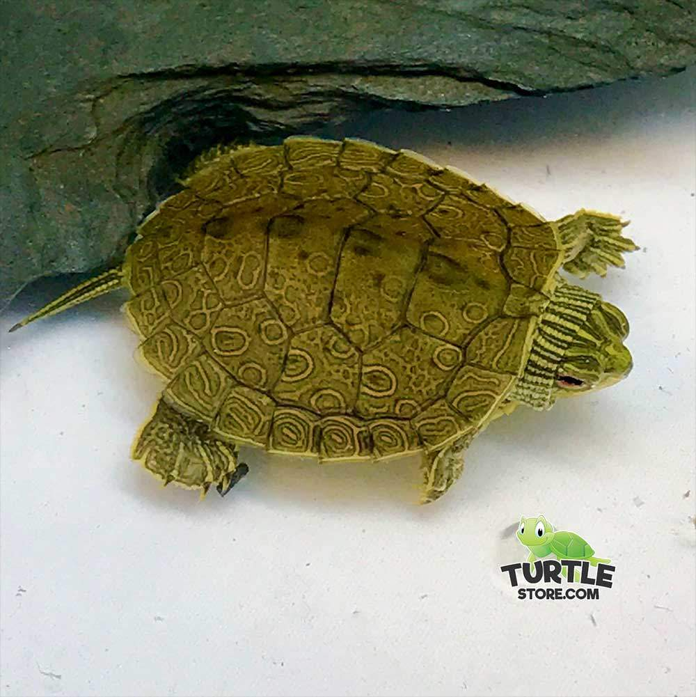 baby map turtle for sale