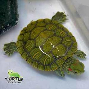 baby slider turtles for sale