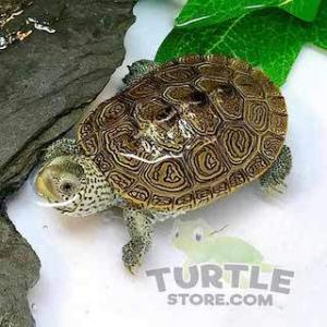 terrapins for sale