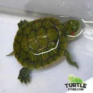 dwarf turtles for sale