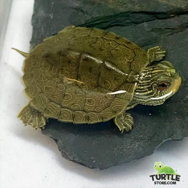 geographic map turtle