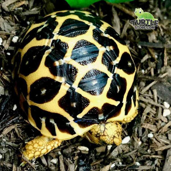 Indian Star tortoise enclosure