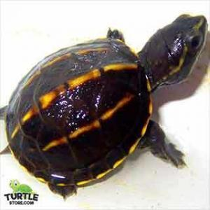 mud turtles for sale
