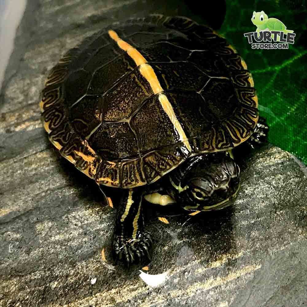 painted turtle for sale