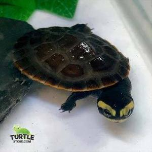 side-necked turtles for sale