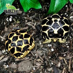 star tortoise for sale