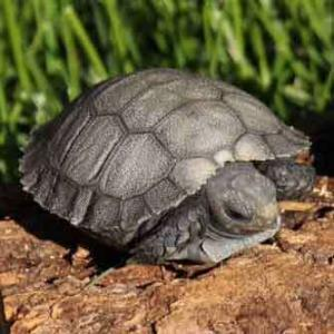 Burmese brown mountain tortoise