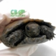 black mountain tortoise for sale