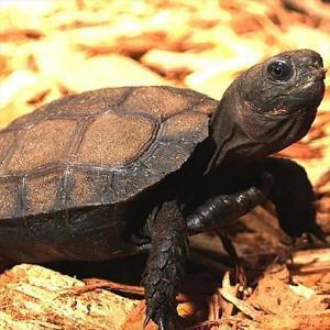 Burmese mountain tortoise for sale