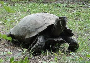 Burmese black mountain tortoise for sale