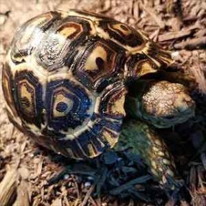 hybrid leopard tortoise for sale