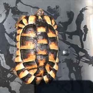 marginated tortoise for sale