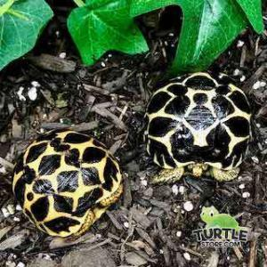 small tortoise breeds