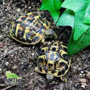 western hermann's tortoise for sale