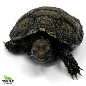 Burmese mountain tortoise for sale