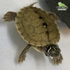 baby Mississippi Map turtle
