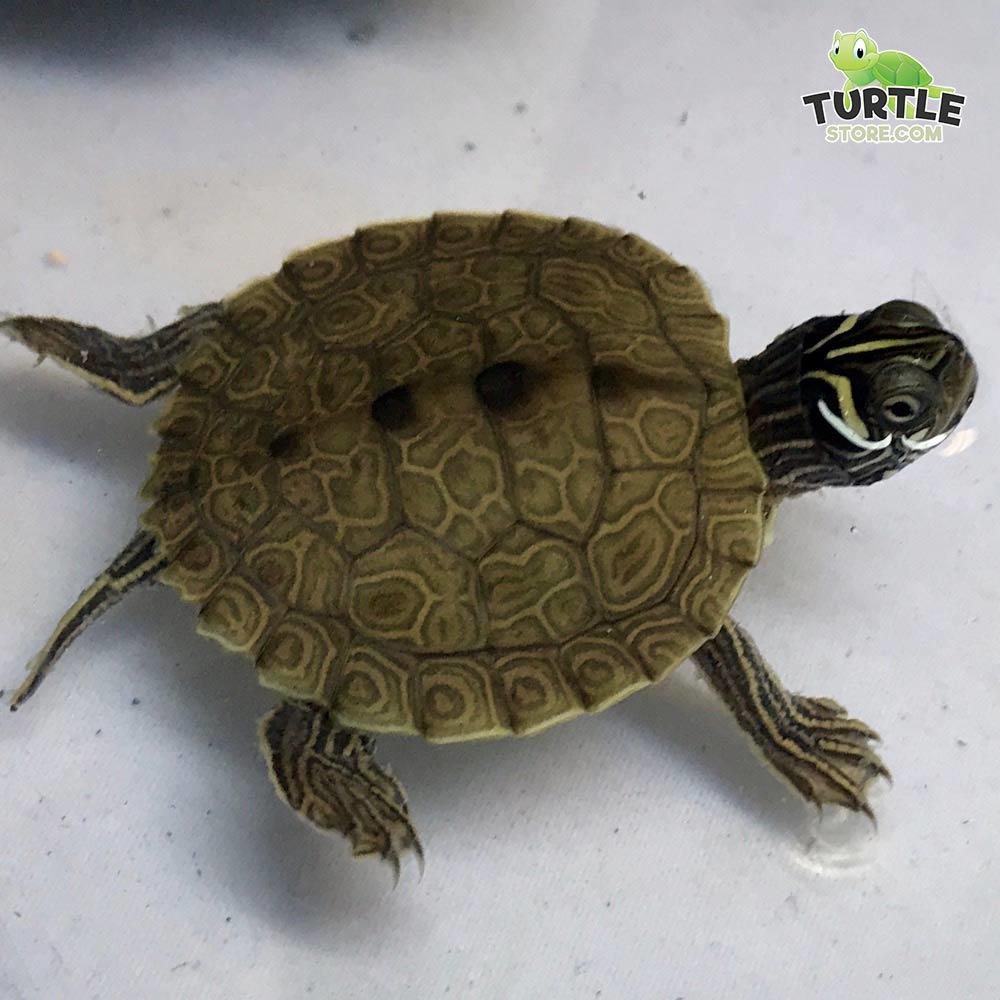 baby map turtles for sale