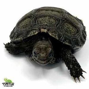 Burmese mountain tortoises for sale