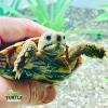 African pancake tortoise for sale