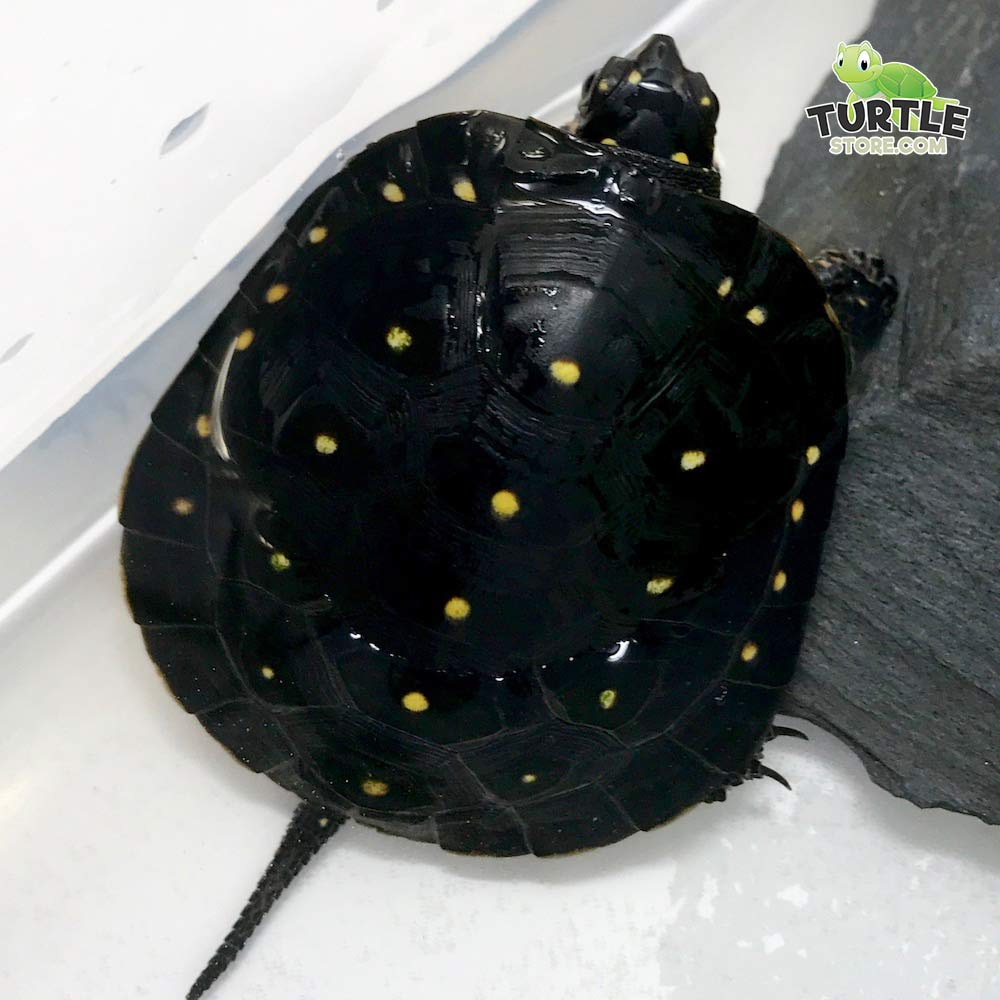 baby spotted turtle for sale