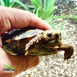 baby tortoises for sale
