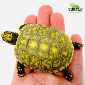 baby yellow foot tortoise
