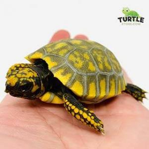 baby yellow footed tortoise