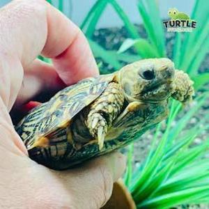 pancake tortoise care