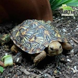 pancake tortoise size